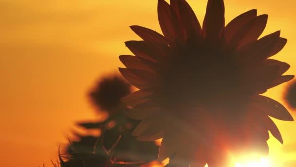 Slunečnice v západu slunce, obdělávané pole siluetu proti zapadajícího slunce