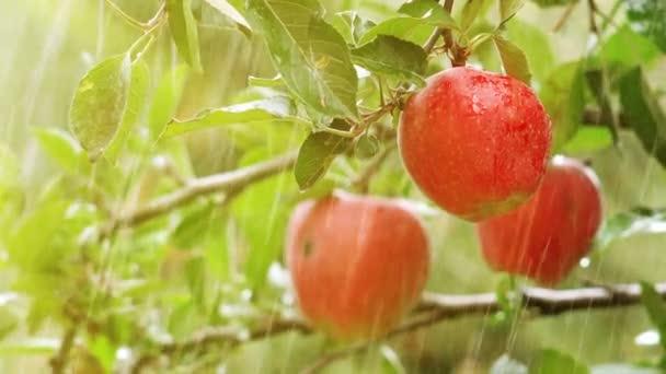 Fresh red apples, organic orchard in rain