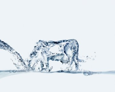 Water Cow Drinking