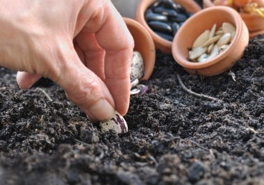 sowing beans