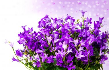 Aerial view potted purple Campanula Portenschlagiana flowers on white background. stock vector