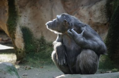 Chimpanzee scratching itself with funny face