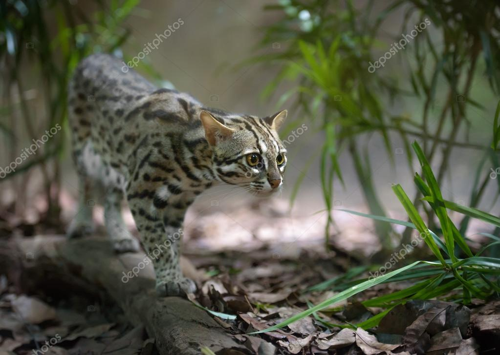 Chasse chat l opard photographie photomaru 84802136 - Chat type leopard ...