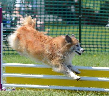 Icelandic Sheepdog at Dog Agility Trial
