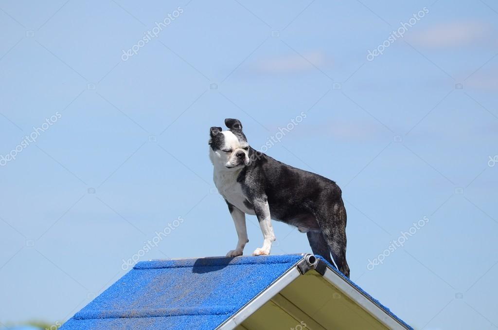 Boston Terrier at Dog Agility Trial — Stock Photo © herreid #107671328