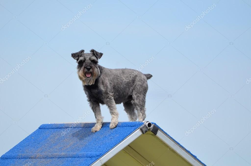 Miniature Schnauzer at Dog Agility Trial — Stock Photo © herreid ...