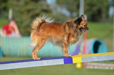 Long Coat Chihuahua a Dog Agility Trial