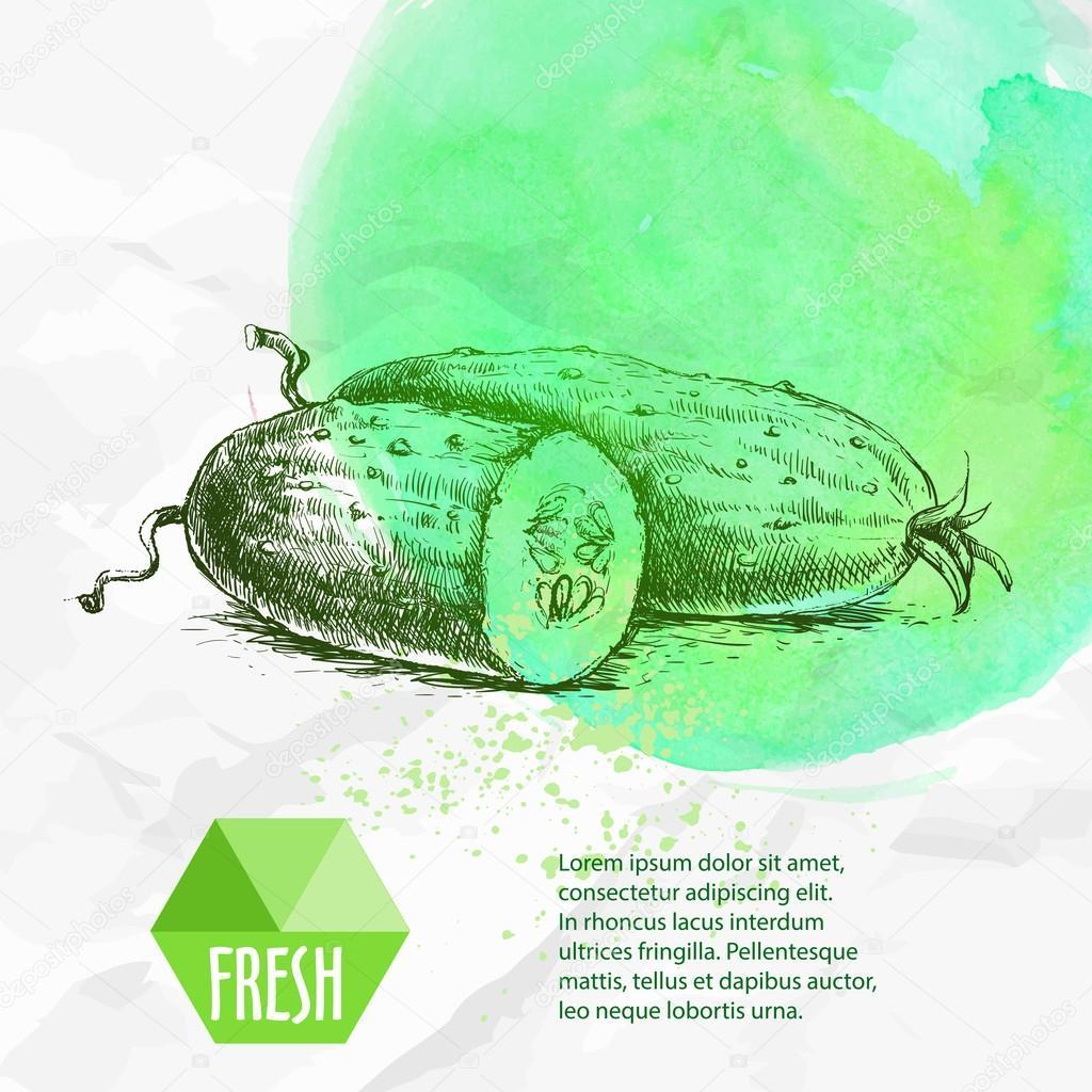 Hand drawn fresh sliced cucumbers. Vintage sketch style organic eco ...