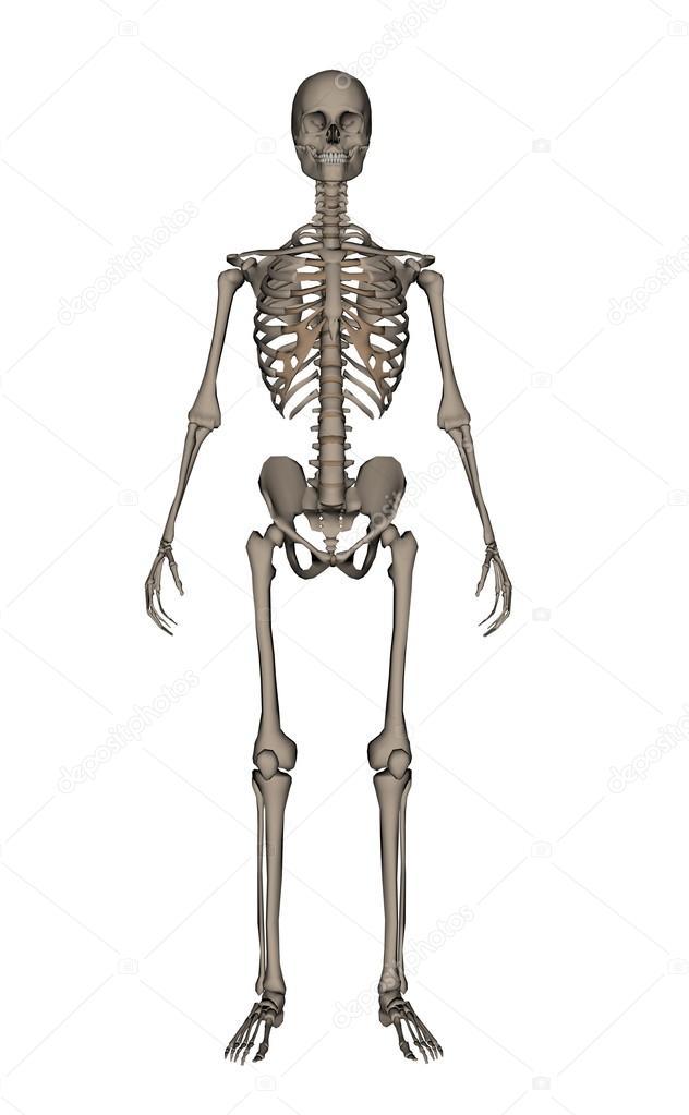 Das menschliche Skelett - 3d render — Stockfoto © Elenarts #104278996