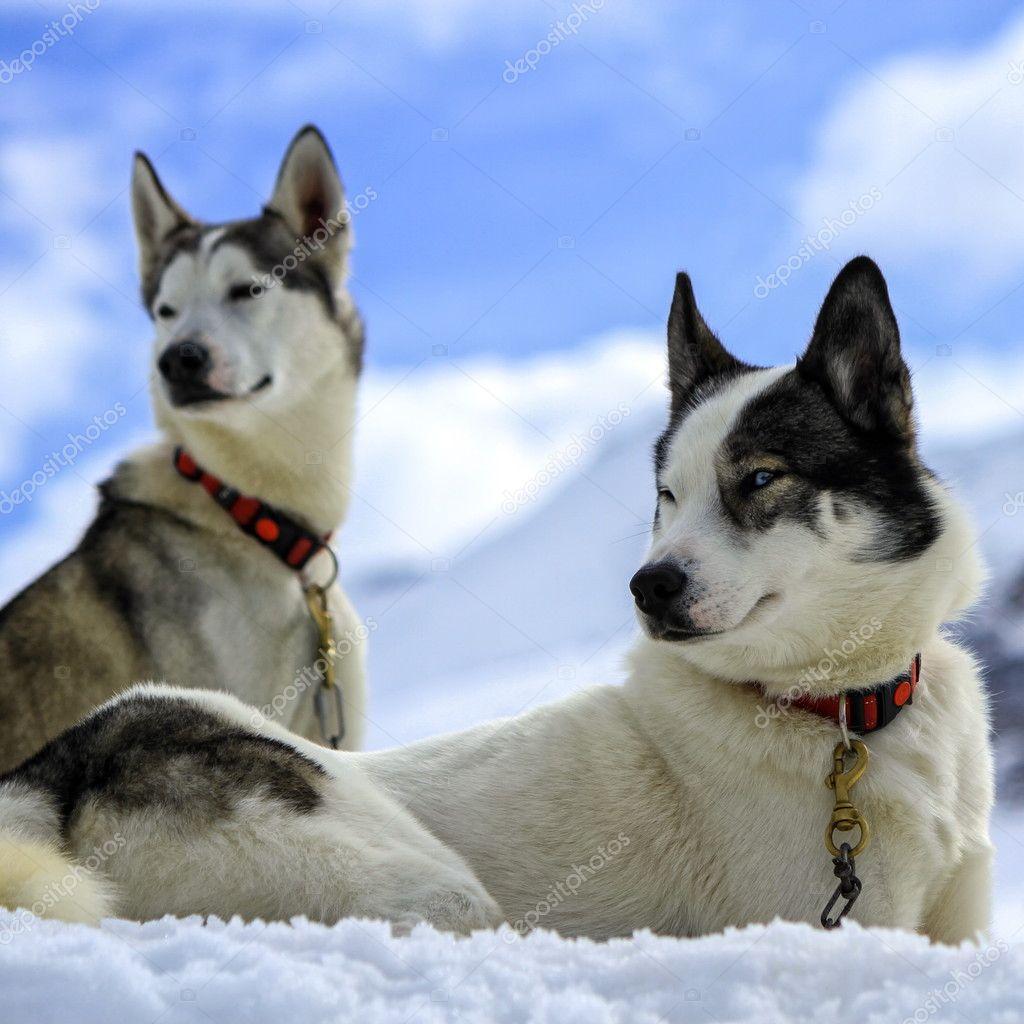 Siberiano Husky Caes Retrato Stock Photo C Elenarts 86215628