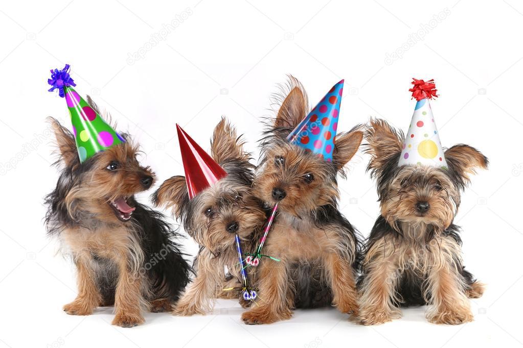 Cuccioli Di Yorkshire Terrier Di Tema Compleanno Su Bianco Foto