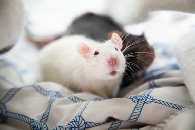 Two pet rats