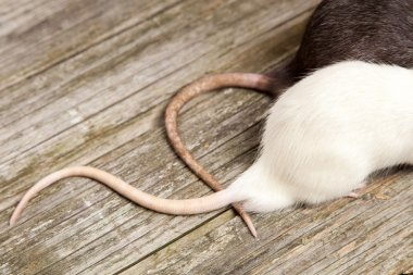 Tails of rats on a wooden table