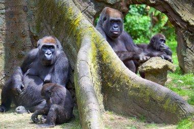 Group of mountain gorillas