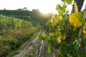 Fotografie krásné vinice ve Švýcarsku