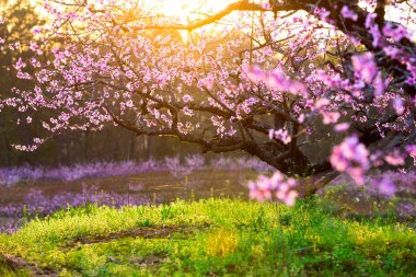 Peach blossom and green grass with sunshine