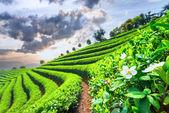 Fotografia Piantagioni di tè in Cina