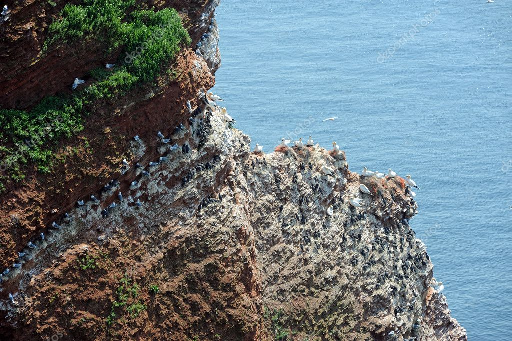 Northern gannets and guillemot