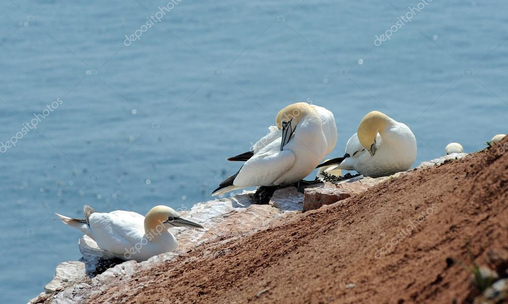 northern gannets breeding on a rock