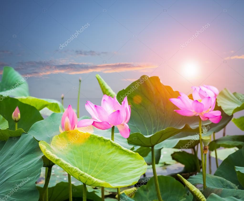 lotus flower blooming in sunset