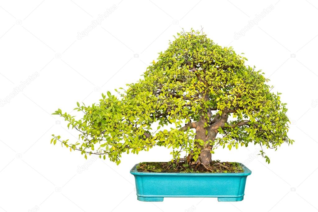 Pictures Chinese Elm Tree Chinese Elm Bonsai Tree Stock Photo C Chungking 94901296