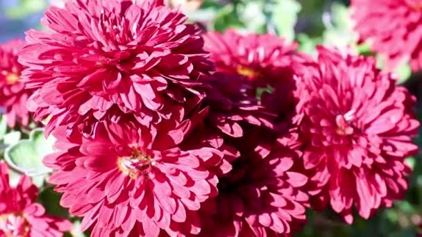 krásná červená světlé chryzantémy jako zahradní dekorace