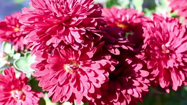 beautiful red bright chrysanthemums as a garden decoration