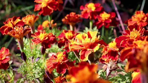 színes gyönyörű kerti cserje krizantém, mint egy udvar dekoráció