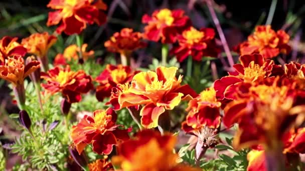 multicolored beautiful garden shrub chrysanthemum as a yard decoration
