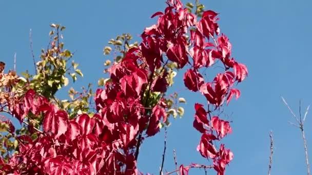 leuchtend rote Blätter der Pflanze gegen den blauen Himmel