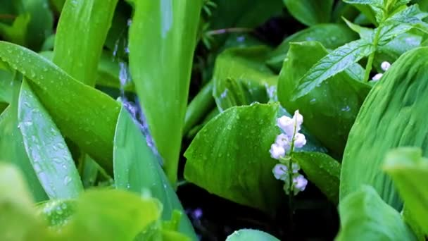 beautiful lily of the valley leaves under running rain water