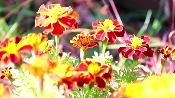 gyönyörű sárga százszorszépek díszítik a kerti pázsit