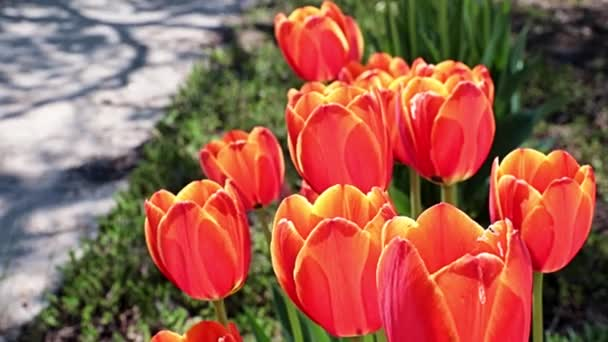 gyönyörű piros tulipán, mint egy dekoráció a park területén