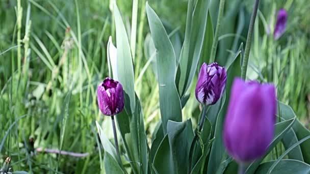 krásné neobvyklé fialové květy tulipány na aleji parku