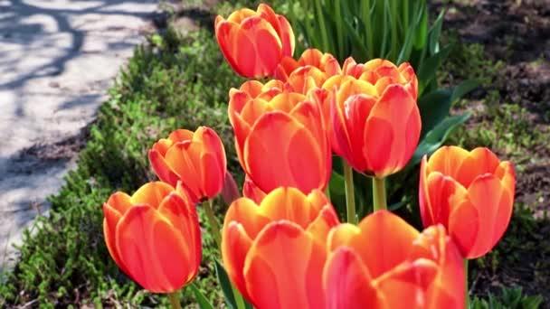 krásné šarlatové tulipány se kymácejí pod poryvy vzduchu