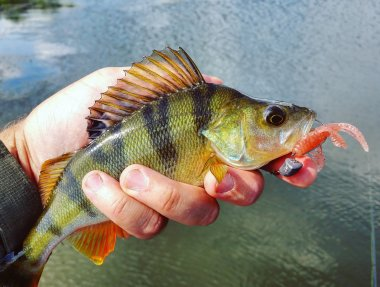Perch with lure in mouth