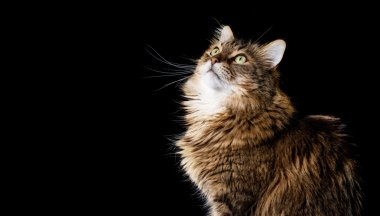 Maine coon cat on black background