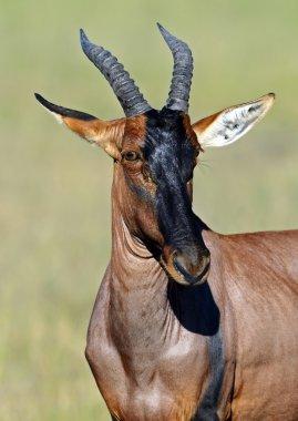 Topi antelope in the savannah