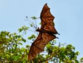 Fotografie Flying fox