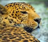 Levharta v přírodě na ostrově Srí lanka
