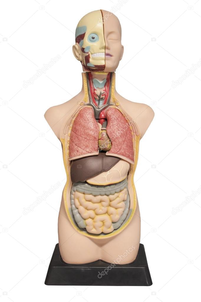 The Layout Of The Human Body Stock Photo Vav163 100900812
