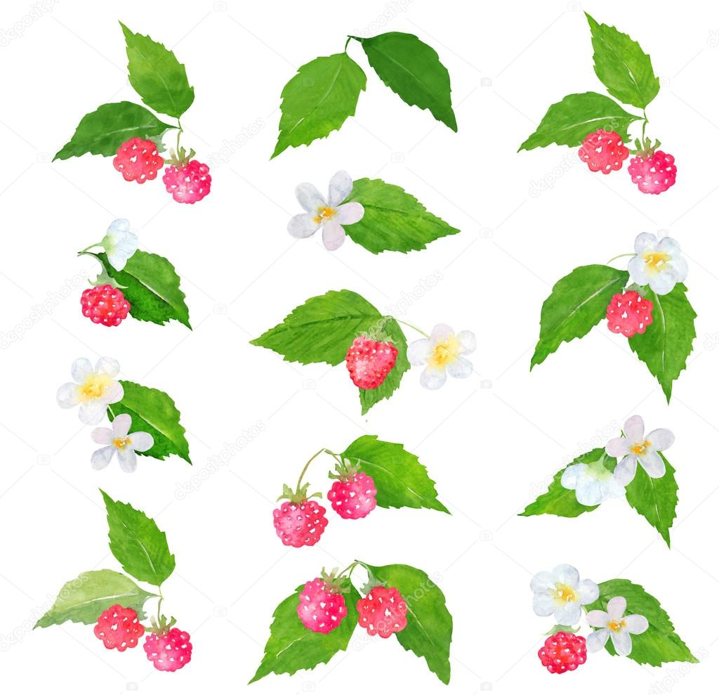 Watercolor raspberry clipart
