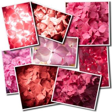 Hydrangea variations