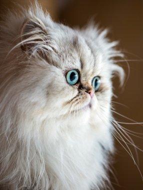 Beautiful Persian cat
