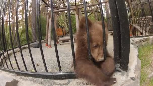 Brown bear cub in zoo cage