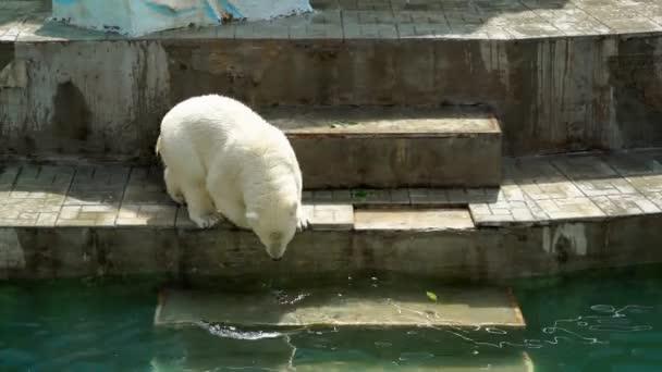 polar bear baby walking down the stais into the pool