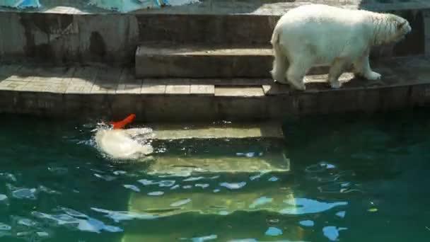 Polar bear cub playing underwater in pool
