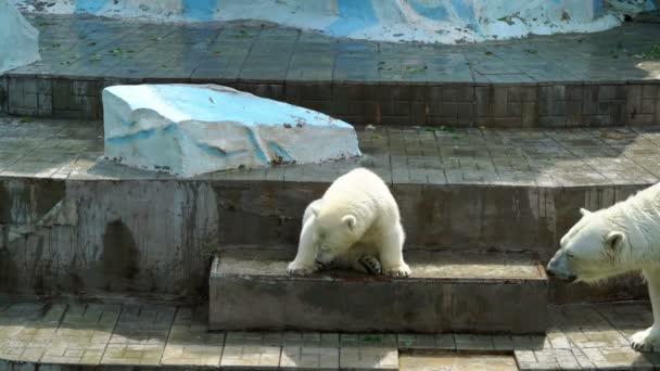 lední medvídě se svou matkou