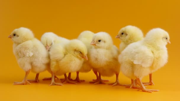 Little chicks standing together