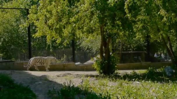 Liger la prole ibrida di un leone maschio e una tigre in giardino zoologico